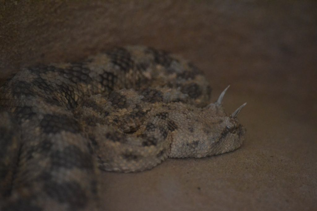 Horned Viper Drawing Images & Pictures - Becuo